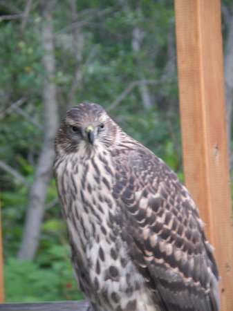 A Smiling Bear B&B: Goshawk visiting the Gazebo