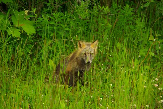 A Smiling Bear B&B: Cross Fox