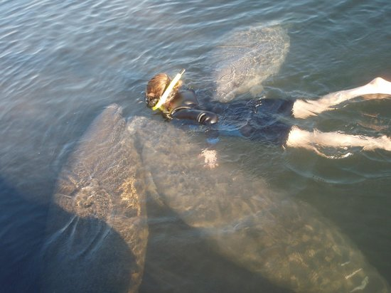 Air Tank Divers Manatee Tours :                   Manatee sandwich!