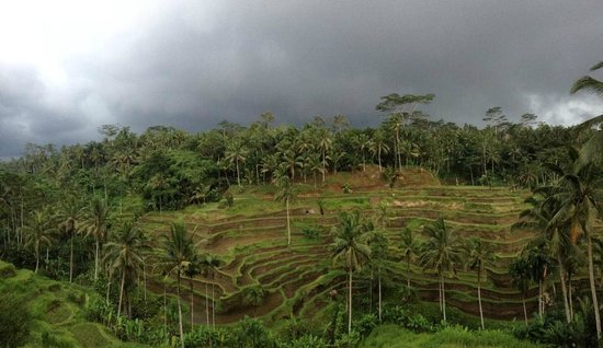 Agus Bali Private Tours:                   Rice Terraces in Ubud