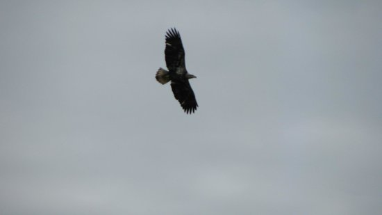 Buffalo Rock State Park:                                     Bald eagle that flew right overhead