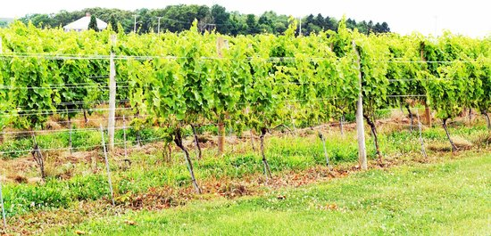 Westport Rivers Vineyard & Winery :                   Vines