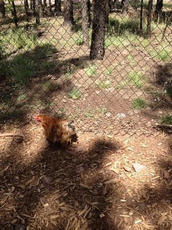 Bearizona Wildlife Park:                   cute chicken