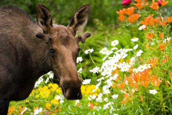More than 1,500 moose reside in Anchorage. Photo courtesy of Wayde Carroll