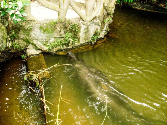 Bosque Rodrigues Alves - Jardim Botanico da Amazonia :                   peixe boi