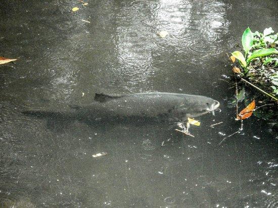 Bosque Rodrigues Alves - Jardim Botanico da Amazonia :                   lago de peixes