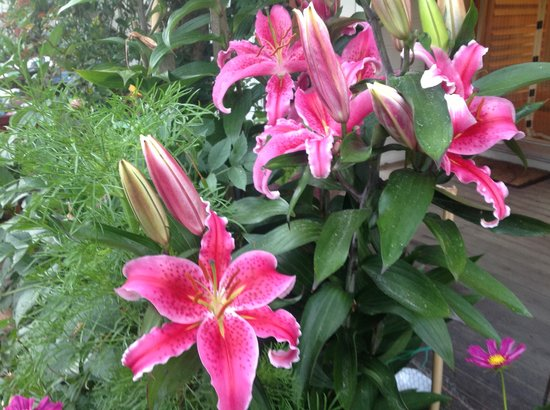 Kippilaw House : Lovely lillies out in full bloom in our gardens