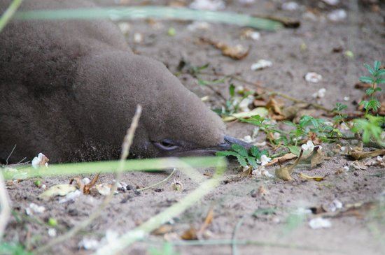 Back to Nature Tours:                   Yellow-eyed penguin chick