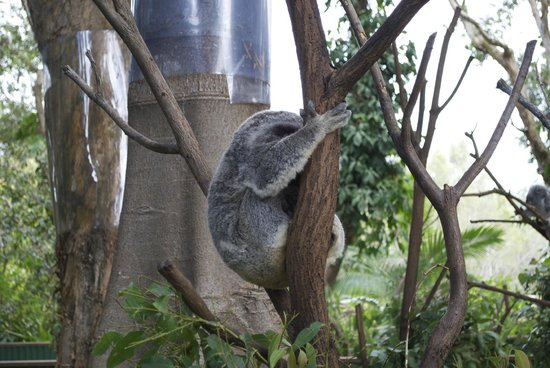 Currumbin Wildlife Sanctuary:                   Koala sleeping