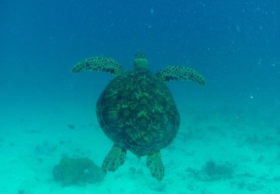 Whitetip Divers:                   tortue seychelloise