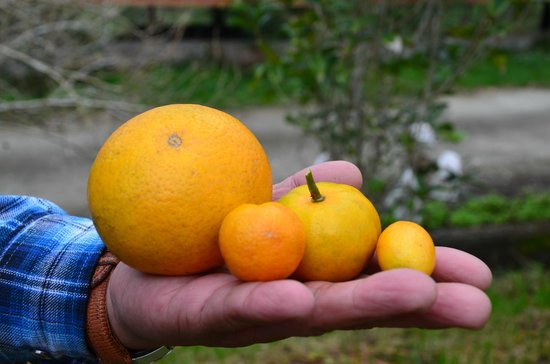 Taiwan Juhu Farmstay: different types of oranges
