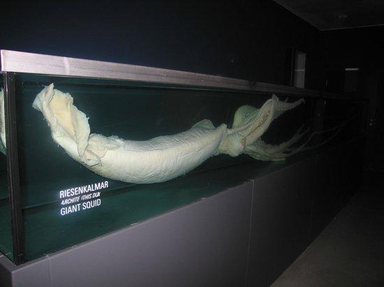 Ozeaneum: Riesenkalmar