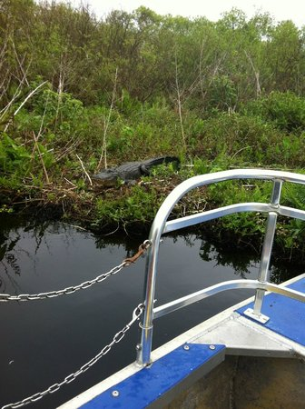 Cypress Lake Airboat Tours:                   One of the alligators we saw, really close