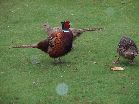 Columba House Hotel: Pheasants