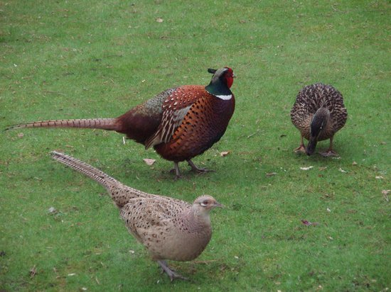Columba House Hotel: Pair of Pheasant & Ducks  in the Garden