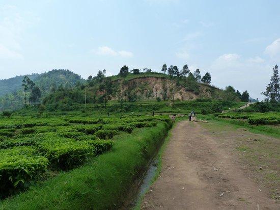 Green Hills Ecotours - Day Tours:                   les plantations de thé