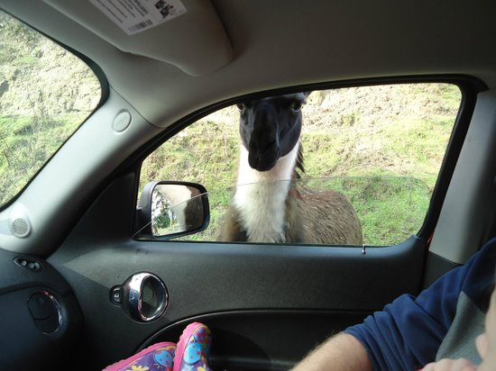 ‪‪Olympic Game Farm‬:                   Llamas....so hilarious running along the car