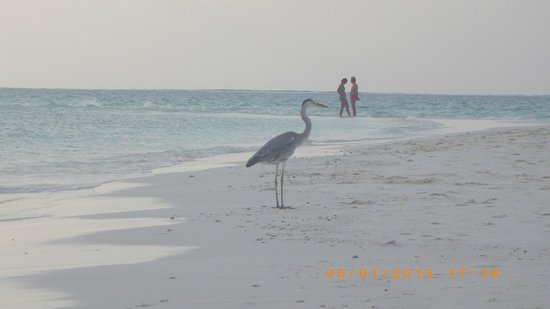 Gangehi Island Resort:                   Wildlife