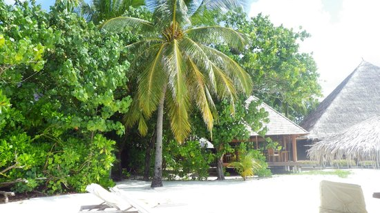 Gangehi Island Resort:                   Coconut tree