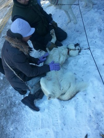 Barking Brook Sled Dog Adventures - Day Trips :                   Belly rubs