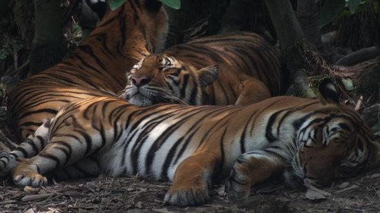 Zoo Negara:                   sleeping beauties