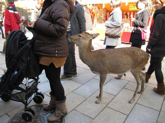 Nara Park: deer trying to eat my map...