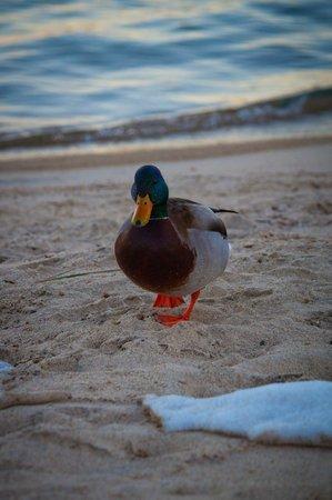 Howard Johnson South Lake Tahoe: ducks on the lake near HOJO