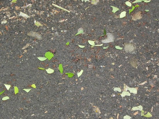 Arenal Oasis Wildlife Refuge: Leaf cutter ants carrying their haul