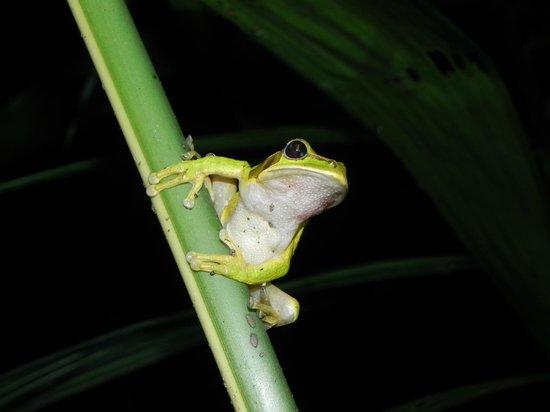 Arenal Oasis Wildlife Refuge: Frog