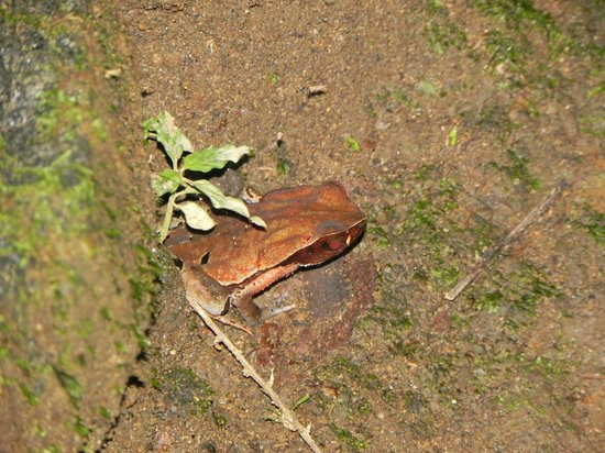 Arenal Oasis Wildlife Refuge: Toad