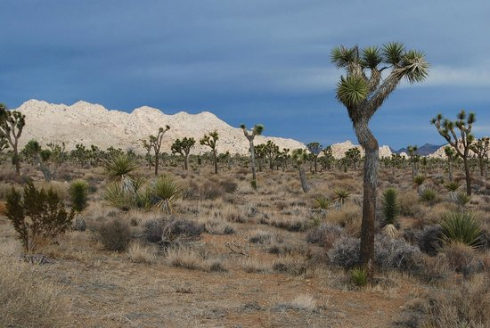 Jumbo Rocks Campground:                   Joshua tree forest