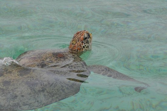 Sipadan Kapalai Dive Resort: Turtles aplenty!