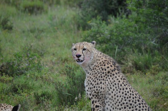 Shamwari Game Reserve Lodges :                                     A cheetah just after a kill...