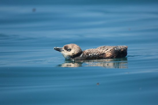 Kaikoura Kayaks:                   Little Blue Penguin