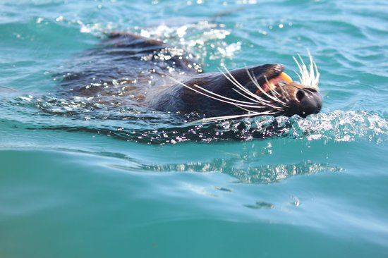 Kaikoura Kayaks:                   New Zealand Fur Seal
