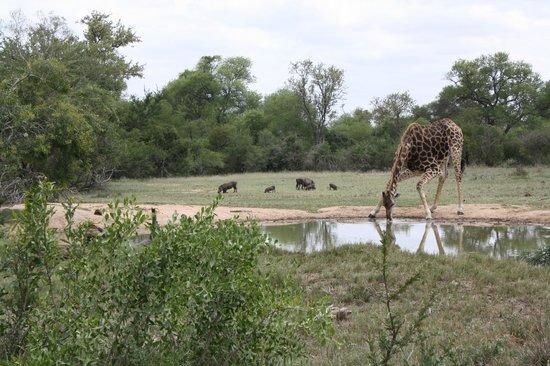 Monwana Game Lodge:                   giraffe bij de drinkplaats