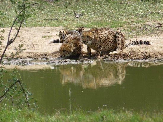 Monwana Game Lodge:                   cheeeta's bij de drinkplaats