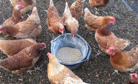 Heath House: Hens