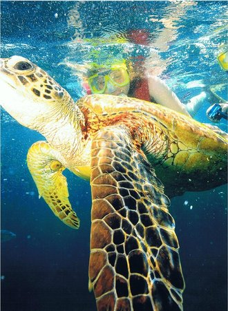 Sunlover Reef Cruises:                   Snorkelling on Moore reef with Turtle