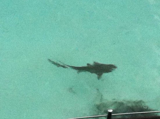 Baros Maldives:                   Shark again.