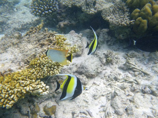 Veligandu Island Resort & Spa:                   snork à proximité