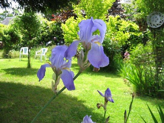 Iris des Marais: Jardin