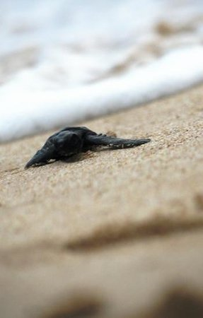 Sea Turtle Farm and Hatchery: 5 day old green turtle released