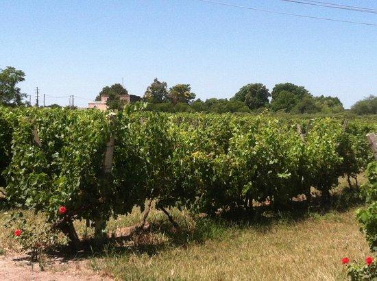 Carmelo, Uruguay:                   Vineyards