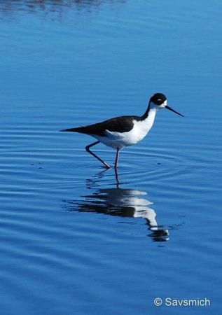 Palo Alto Baylands Nature Preserve:                   Black necked stilt
