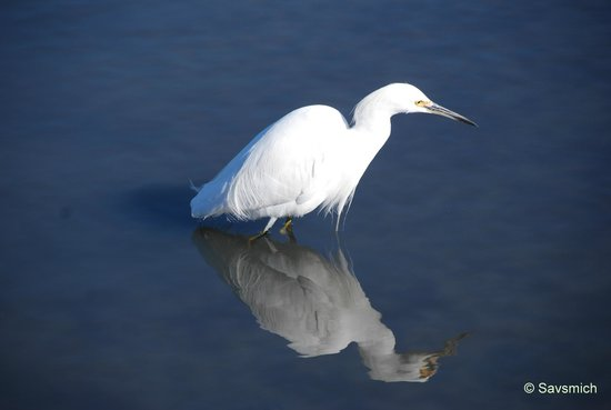 Palo Alto Baylands Nature Preserve:                   Snowy Egret