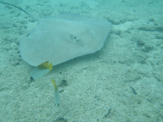 Raanui Tours:                   one of the stingrays while swimming with sharks/rays