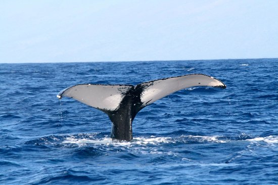 Polo Beach Club: humback whale