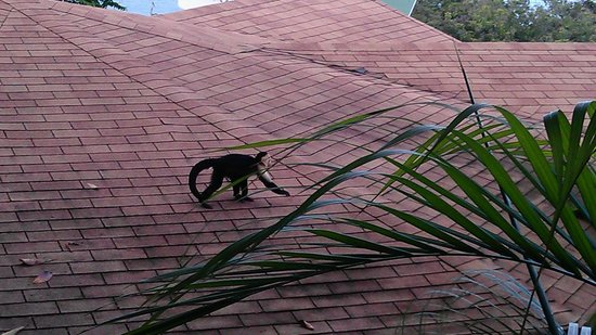 ‪‪Tulemar Bungalows & Villas‬:                                     Monkey on Roof of neighboring villa