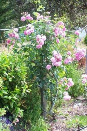 Nannup Lavender Farm: Roses